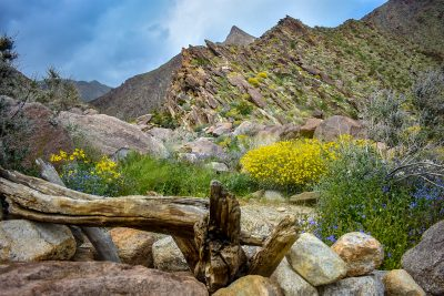 Anza Borrego Desert Bloom - Fine Art Photography